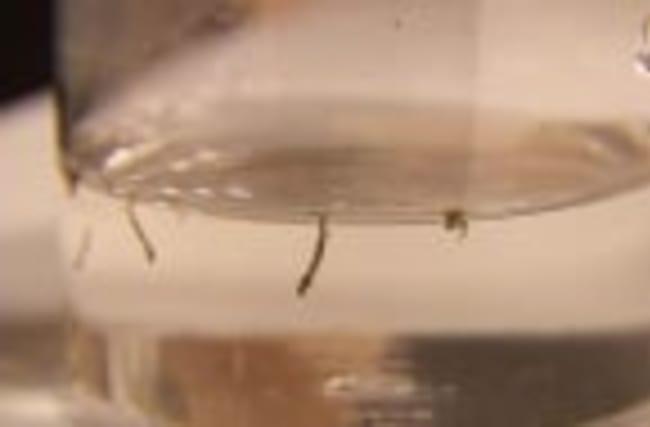 Genetically Engineered Mosquitoes to Fight Zika