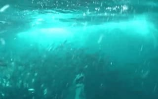 Humpback whale nearly swallows diver