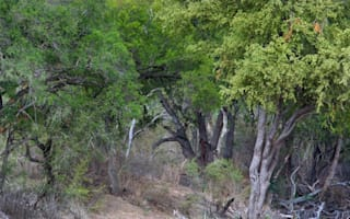 Can you see the leopards in the tree?