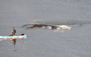 Humpback whale swims with paddleboarder in Ireland