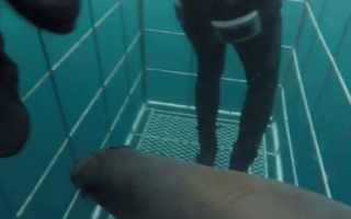 Seal escapes great white shark in divers' cage (video)