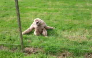 Gibbons left totally baffled by hedgehog