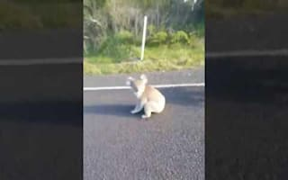 Fighting koalas shooed from highway by concerned motorist