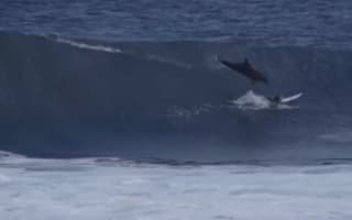 Dolphin leaps from water and dives on surfer in Australia