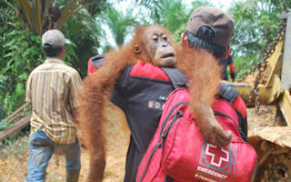Terrified orangutans are carried to safety as their forest home is bulldozed