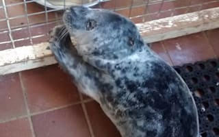 Seal pup washes up in carpark in Wales