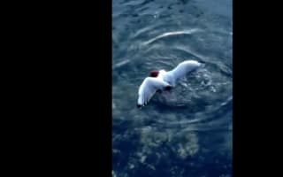 Scary moment octopus kills unsuspecting seagull