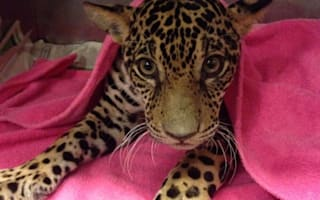 Jaguar shot 18 times makes miraculous recovery