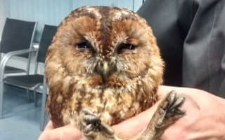 He flue in! Owl rescued after getting stuck in chimney