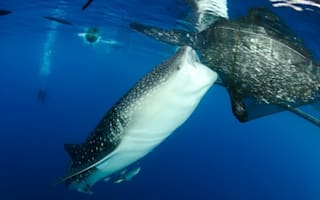 Fish of the day: UK photographer snaps whale sharks stealing from nets