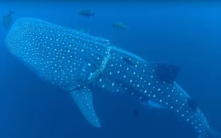 Beautiful whale shark rescued from fishing rope by kind diver