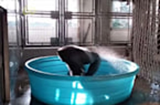 Gorilla Dancing in Kiddie Pool Takes the Internet by Storm Again!