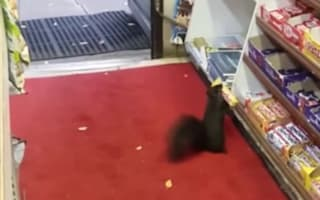 Squirrels steal chocolate from corner shop
