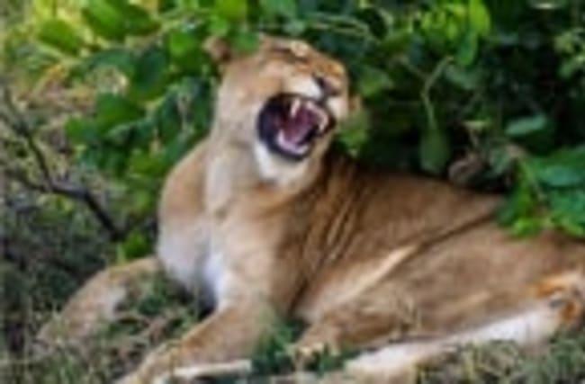 Une lionne essaie d'attaquer des touristes dans un zoo