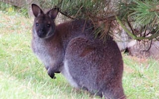 Wallaby on the loose in Ireland