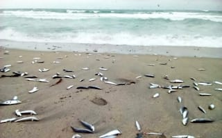 Why have thousands of dead fish washed up on Cornwall beach?