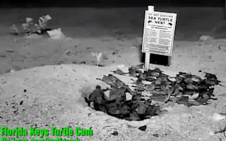 Sea turtles hatching in Florida caught on camera