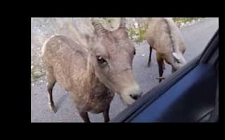 They can't stop licking it! Bighorn sheep give free carwash