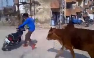 Motorbike 'show off' chased down street by cows (video)