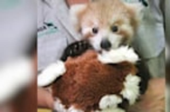 Red Panda Cub is Obsessed With Fluffy Toy Twin