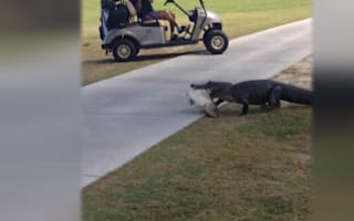 Alligator strolls across golf course with fish in its mouth