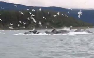 Whale 'feeding frenzy' caught on camera