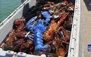 Ever seen a bright blue lobster?