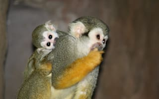 Adorable squirrel monkeys learn the ropes at Edinburgh Zoo