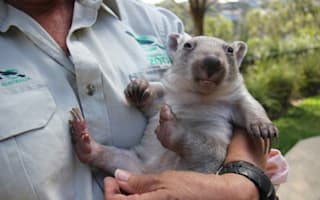 Adorable orphaned baby wombat finds new mum: Pictures