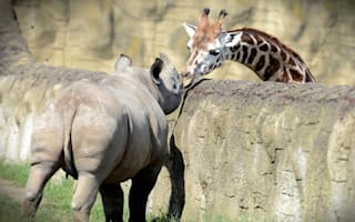 Giraffe leans over to kiss rhino at zoo (cute pictures)