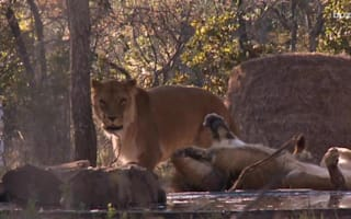 Rescued lioness bonds with orphaned cub