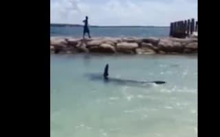 Large 14ft hammerhead shark filmed at Bahamas beach shoreline