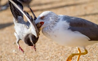 'Killer seagull' in Hyde Park drowning pigeons and eating them