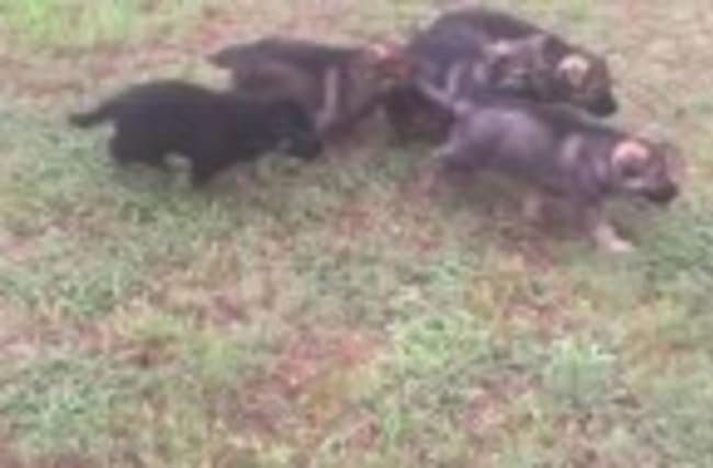German Shepherd mom lovingly feeds her pups