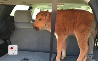 Yellowstone National Park tourists kidnap bison