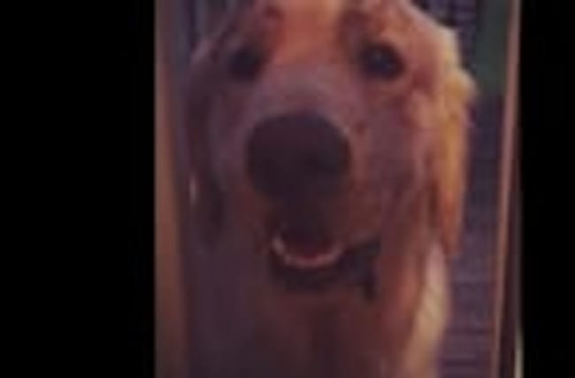 What happens when you leave a Golden Retriever unsupervised?