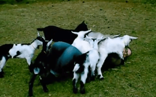 Watch: Woman attacked by herd of baby goats