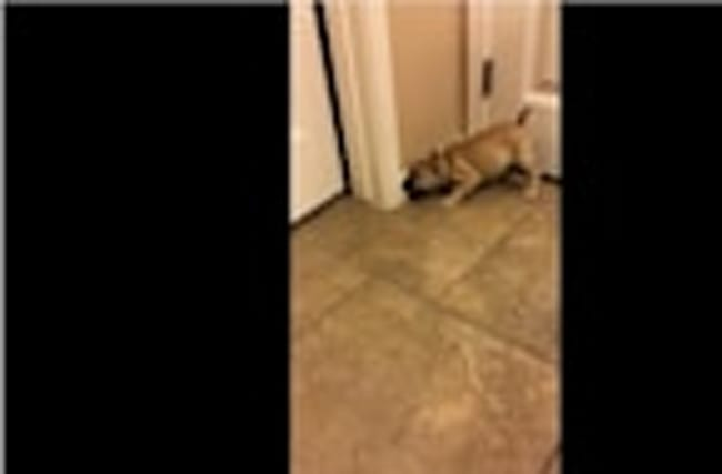 French Bulldog puppy loses it on doorstop