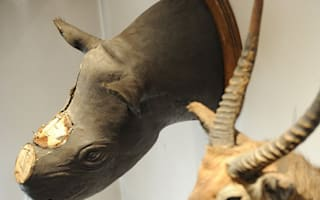 British woman arrested in Spain over theft of rhino horns at museum
