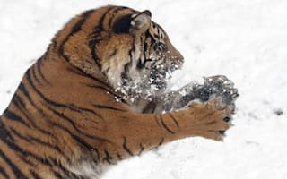 Who knew tigers loved a snowball fight?