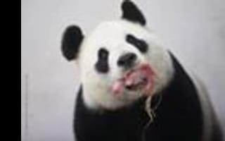 'Little pink sausage': Rare giant panda born in Belgium