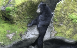 Hungry bear gets stuck between rocks while fishing (video)