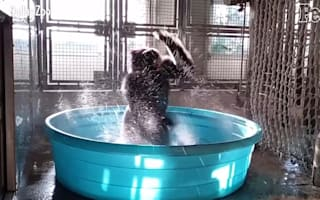 Gorilla dances like no-one's watching (hilarious video)