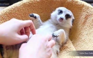 Bangkok cafe allows you to pet meerkats, owls and raccoons