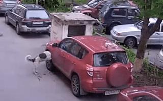 Video: Stray dogs destroy Toyota RAV4