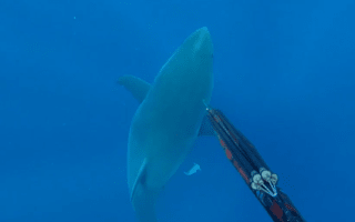 Spear fisherman jabs great white shark to scare it off (video)