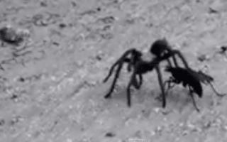 Tarantula vs giant wasp in fight caught on camera