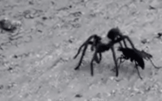 Tarantula vs giant wasp in fight caught on camera