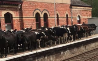 Herd of cows invades train platform in Kent