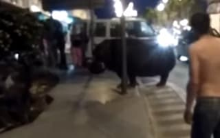 Hippo goes on the run in Spain (video)